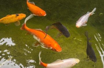 S'attabler dans un café les pieds dans un bassin de poissons