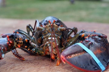 Un restaurant new-yorkais relâche son homard de 132 ans